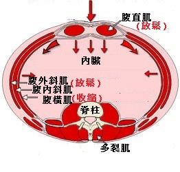 吸氣時腹部橫切面(中)